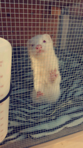 Wanted ferret