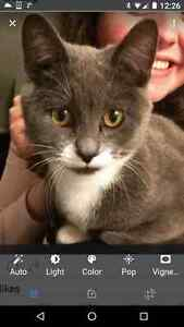 Missing small grey cat in Woodbridge area of Sherwood Park. Strathcona County Edmonton Area image 2