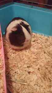 Female guinea with large cage and all you need