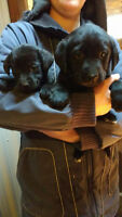 Purebred Black Lab Puppies for sale