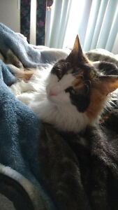 Calico Cat to sell Moving away !!!! Cannot take her!!!