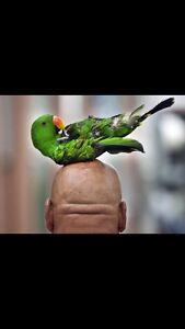 Wanted small/medium parrot