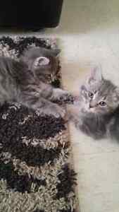 two female kittens (would like them to go together)
