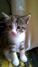 kitten for sale female Wishart Brisbane South East Preview