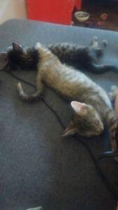 Kittens for adoption