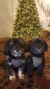 ISO Part time Foster Parents  Havanese Dogs