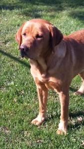 CKC Reg'd Fox Red Labrador Retriever