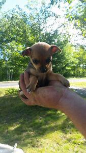 Female Chihuahua puppy's