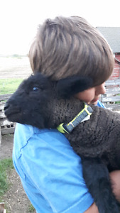 Sweet Baby Doll Lambs Available