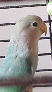 Sephone green and blue baby lovebird ready to go to forever home