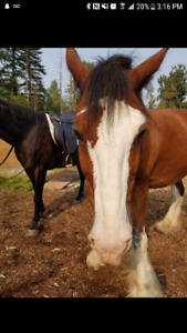 Clydesdale for lease to own or sale try before you buy