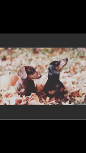 Mini Dachshund Puppies for Sale: Brindles and Reds