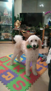 Beautiful Purebred Standard Poodle looking for a new home