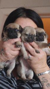 trois bébé pug