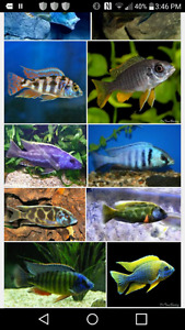 Looking to buy Afrcain cichlids