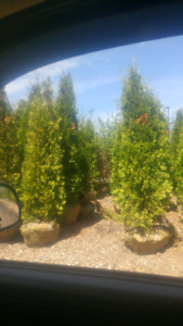 TOP QUALITY LARGE TREE SUPPLY