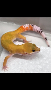 Baby and juvenile leopard geckos for sale (Sykes)