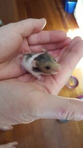 Adorable baby Syrian hamster for sale