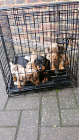 Lovely Dachshund puppies