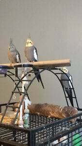 Cockatiels for sale ( urgent)