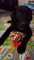 Black Lab 10 mths old Must find new home