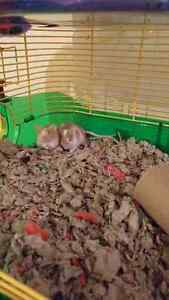 2 young male mice for sale