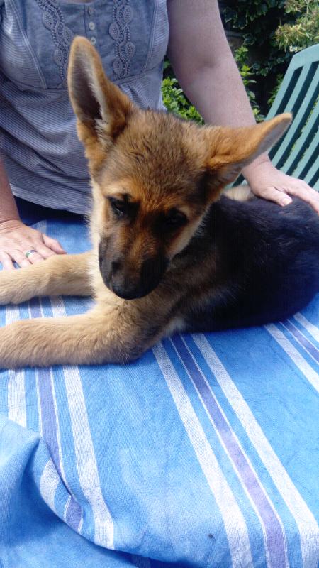 German Shepherd Puppies for Sale  JUST ONE LEFT! | in Dewsbury, West  Yorkshire | Gumtree