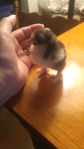 3 bantam Cochin chicks