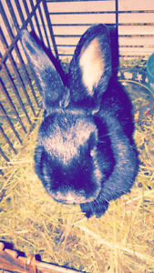 Black Netherland dwarf needs new home