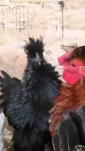 Bantam silkie/frizzles for sale
