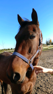 Oil Tumbles - 9 year old Standardbred