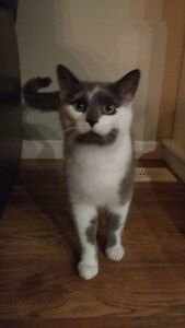 """Orion"" - Lovable grey & white male cat available for adoption"