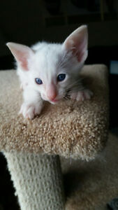3 RARE PURBRED CLASSIC CREAM POINT SIAMESE MALE KITTENS