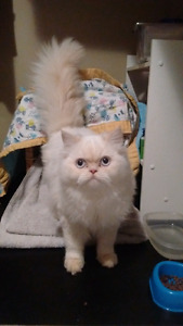 Missing blue eyed white fluffy kitty from bx