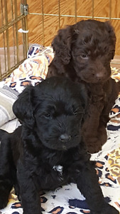 F1B LABRADOODLE PUPPIES 4 AVAILABLE