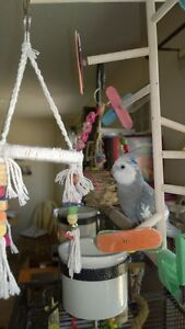 grey cockatiel needs new home ASAP