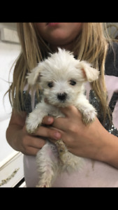 Only 1 MALTESE  Male white fluffy puppy available