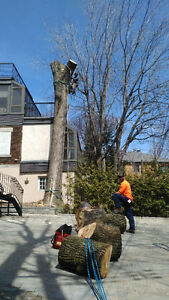 Arboravie élagage, abattage/ Tree services pruning, removal West Island Greater Montréal image 6