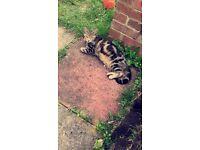Female tabby cat