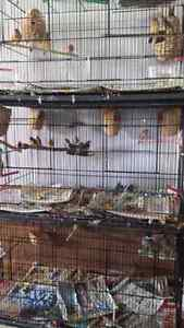 Breading  cage and birds