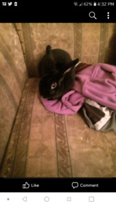 3 year old all black mini rex rabbit free to a good home