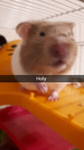 Young Hamsters in need of loving homes