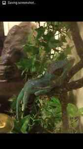 blue king anole