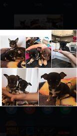 Full Chihuahua pup