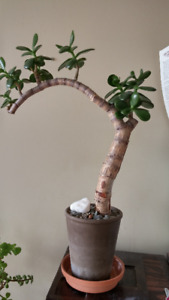 Plant. Jade bonsai, unique. Looks like a beautiful piece of art