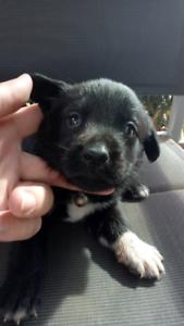 Labrador x border collie... Borador pups