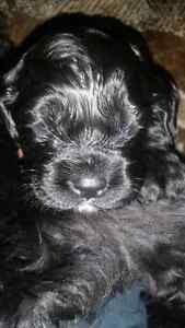 American cocker spaniel puppies.  Only 2 left Kitchener / Waterloo Kitchener Area image 9