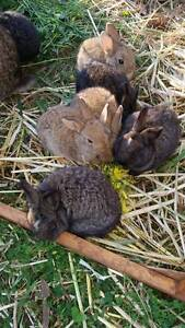 American Flemish GiANTS X Roseworthy Gawler Area Preview