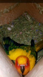 Sun conures breeding pair