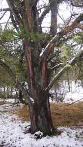 Jack Pine Trees for Furniture